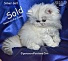 Persian Kittens For sale-Golden Persian
