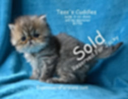 Persian Kittens For Sale In Wisconsin-Pe