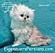 Silver Persian Kittens For Sale. Feline