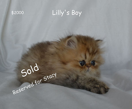 Stacy Lillys BoyPersian Cats For, persia
