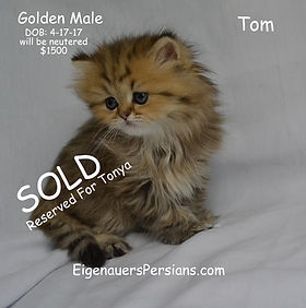 Persian Kittens For Sale,Persians For Sale, Teacup Persians