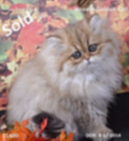 Golden persian kittens, teacup persian kittens, persian kittens, white persian kittens