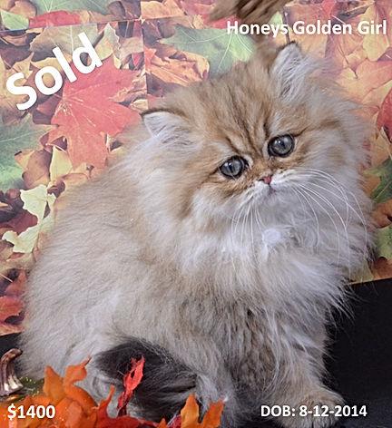 Golden persian kittens, teacup persian kittens, persian kittens, white persian kittens