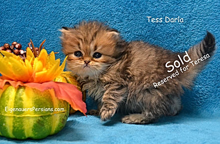 Wisconsin Persian Kittens For Sale.