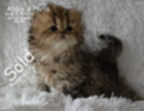 Persian Cats For Sale, persian kittens f