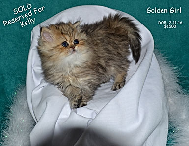 Golden Persian, Persian Kitten, White Persian Kitten, Teacup Persian Kitten, Blue eyed Persian Kitten, Dollface Persian Kitten,Silver Persian Kitten, Black Persian Kitten,Red Persian Kitten,Blue Persian Kitten, Calico Persian Kitten, Flat Faced Persian Kitten, Extream Face Persian Kitten, Sweet Face Persian Kitten