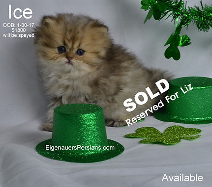 [ultra rare persian kittens][dollface persian kittens for sale][Golden Chinchilla Persian][Calico persian kittens for sale][mythicbells persians][Extasse persians][Castlegate persians][whiskor oaks persians][why do cats purr][why do cats kneed][how long do cats live][why do cats sleep so much][why do cats have whickers][why do cats like boxes][what does catnip do to cats][why do cats hate water][why do cats eat grass][Feline FIV/FeLV][my cat is puking][my cat has the runs] Persian Cats-Persian Cats For Sale-Persians Kittens For Sale-Himalayan Kittens for Sale-Teacup Persians for Sale-Exotic Shorthair Kittens-Doll Face Persian Kittens-PowderPuff Persians- crayolacats-teacup golden persian kittens for sale-teacup persian kittens for sale-smallest persian kittens for sale-best persian kittens for sale