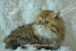 Lilly, Persian kittens for sale in Wisco