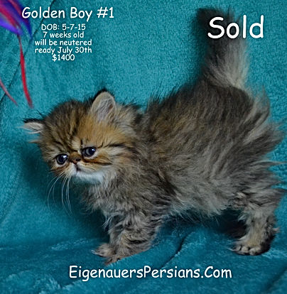 Golden Persian, Persian Kitten, White Persian Kitten, Teacup Persian Kitten, Blue eyed Persian Kitten, Dollface Persian Kitten,Silver Persian Kitten, Black Persian Kitten,Red Persian Kitten,Blue Persian Kitten, Calico Persian Kitten, Flat Faced Persian Kitten, Extream Face Persian Kitten, Sweet Face Persian Kitten for sale