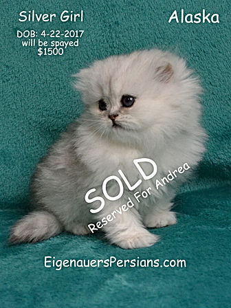 ][Persian Kittens For Sale In Wyoming]Maincoon kittens][Ragdoll kittens]dollfacepersiankittens.com][ultra rare persian kittens][dollface persian kittens for sale][Golden Chinchilla Persian][Calico persian kittens for sale][mythicbells persians][Extasse persians][Castlegate persians][whiskor oaks persians][why do cats purr][why do cats kneed][how long do cats live][why do cats sleep so much][why do cats have whickers][why do cats like boxes][what does catnip do to cats][why do cats hate water][why do cats eat grass][Feline FIV/FeLV][my cat is puking][my cat has the runs]