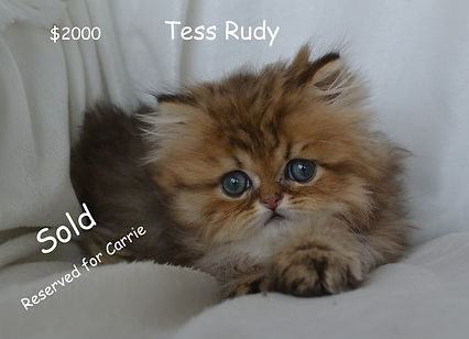 Carrie tess rudy 2Persian Cats For, pers