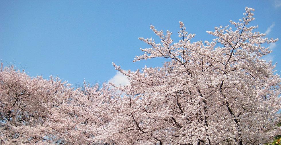 桜_Snapseed.jpg