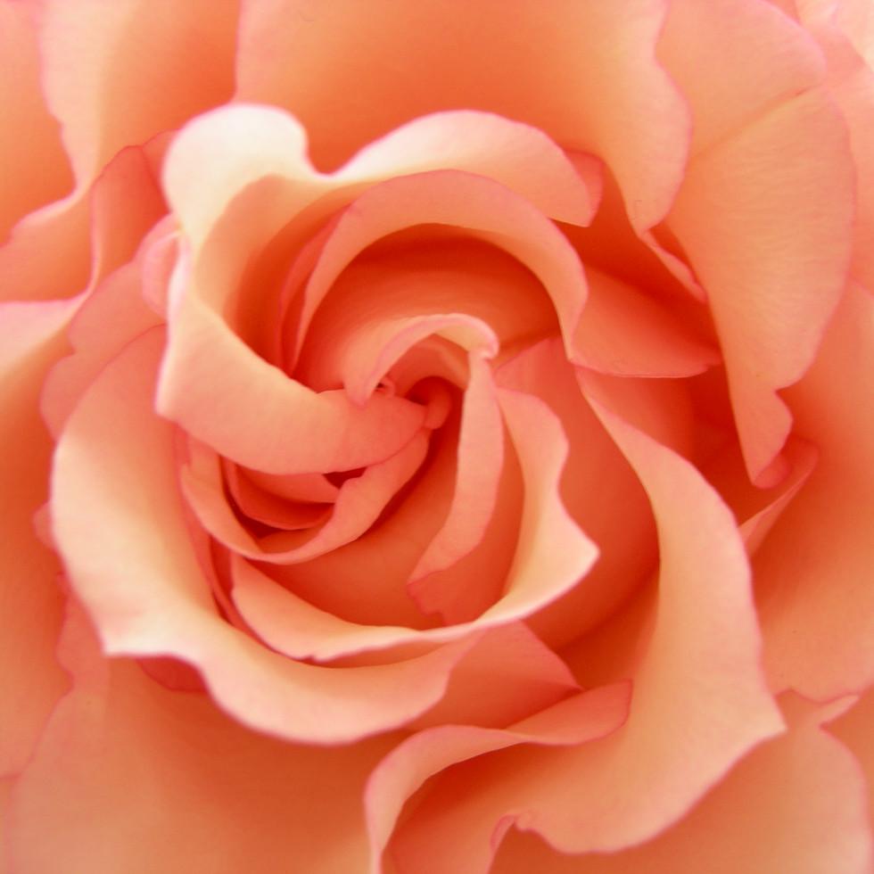 zacht roze roos