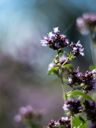 Thyme-flowers.jpg