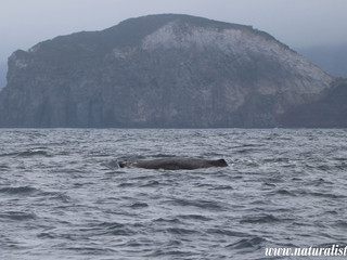 |20-5-2019 am| Fin whales, Blue whale, Sperm whales, Common dolphins and a loggerhead seaturtle!