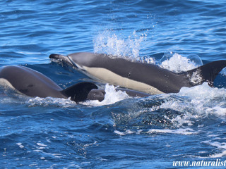 |26-05-2019 pm| Common dolphins including three week calfs, and a friendly a loggerhead seaturtle.