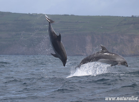 | Gallery | Azores Whales and Dolphins