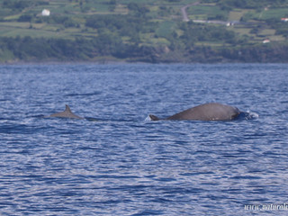 |16-07-2019| Sperm whales, Sowerby's Beaked Whales and Risso's dolphins!