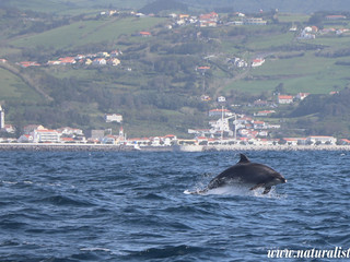 |14-5-2019 am| Dolphins mating in front of Horta, Faial
