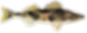 Guide de pèche au doré québec