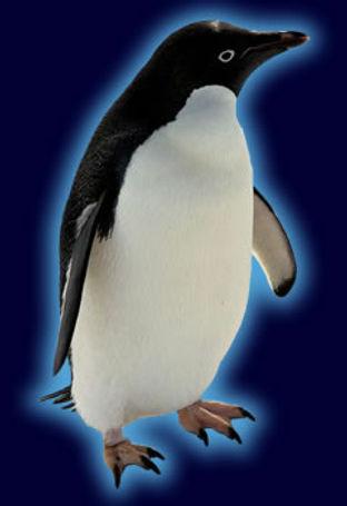 adelie_penguinspecies.jpg