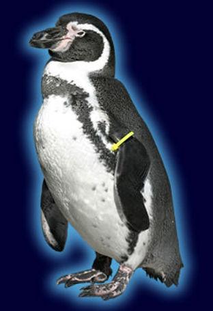 humboldt_penguinspecies.jpg