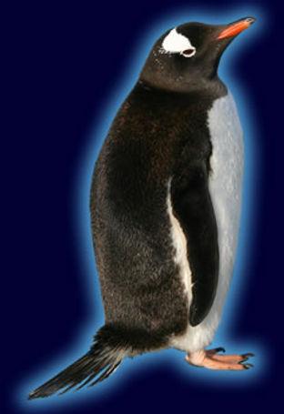 gentoo_penguinspecies.jpg