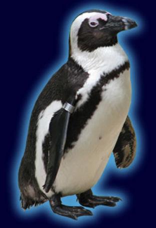 african_penguinspecies.jpg