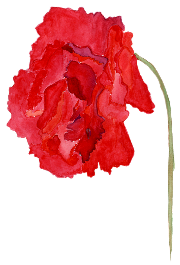 South African Poppy – Watercolor
