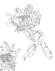 Sunflower Study – Continuous Line Drawin
