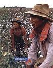 QQ121-2014_Cotton-pickers.jpeg