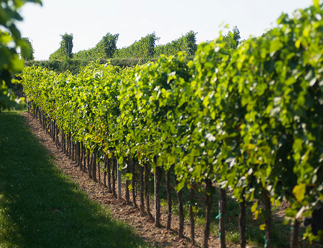 Stefans Weingärten