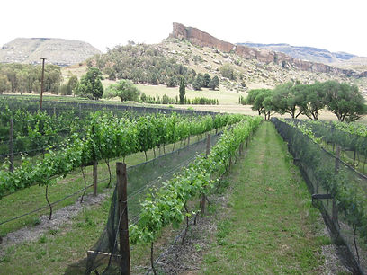Mile High Vineyard, Home of the Bald Ibi