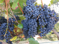 Shiraz grapes ready for harvesting