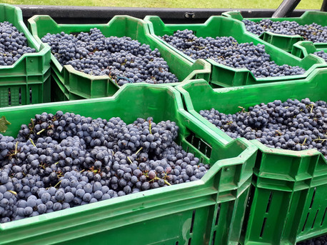 Harvest time - Pinotage grapes