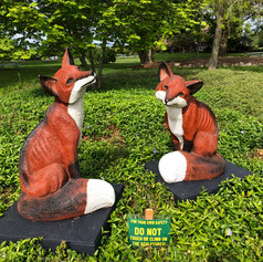 Two Red Foxes - Vulpes Vulpes