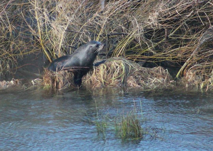 seal at waitaki river mouth