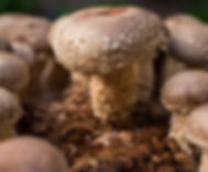 mercajara-mushrooms.jpg