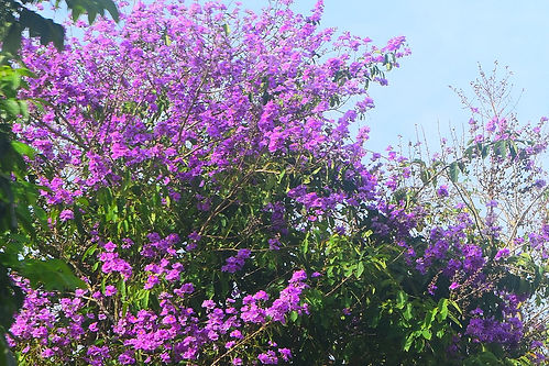 1200px-Banaba_Tree_Flower.jpg