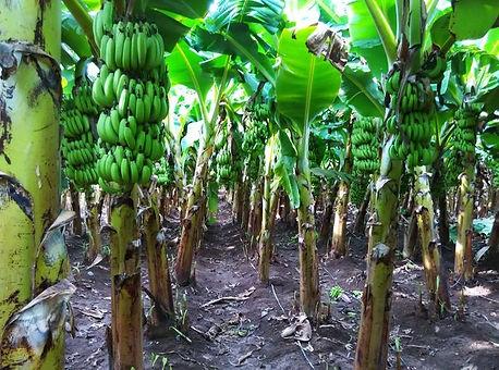 Banana Tree.jpg
