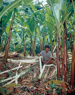 Worker Stripping Fiber From Abaca