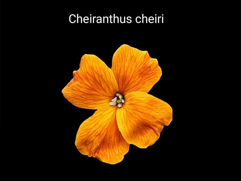 Şebboy _ güzel floral bir koku aroması o
