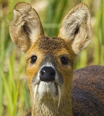 chinese-water-deer-4_edited.jpg