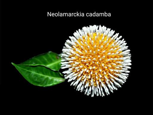 kadam çiçeği