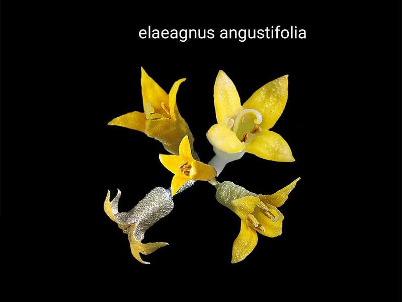 İğde çiçeği _Anadoluda yaygın olarak yet