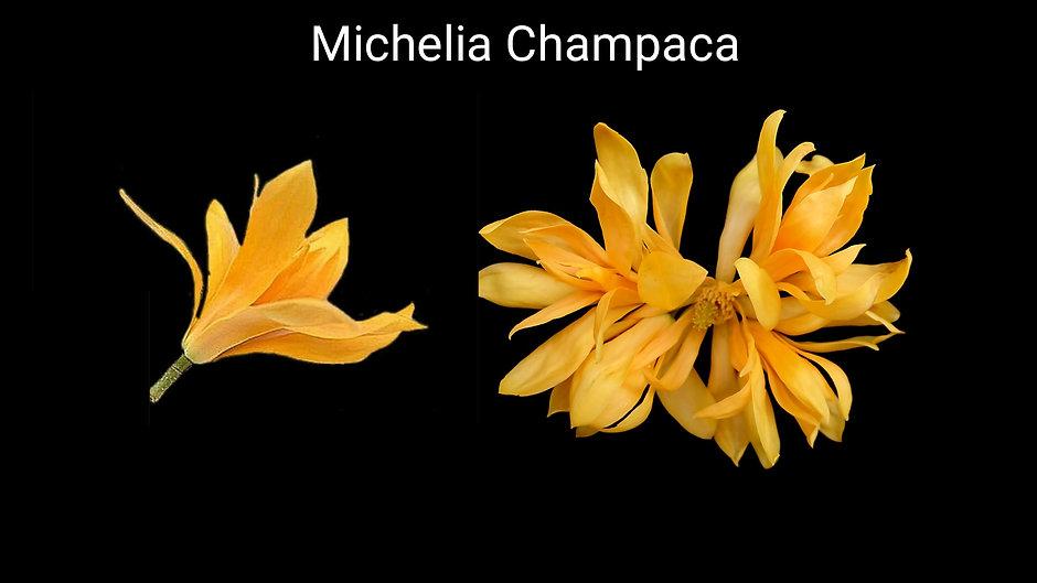 Champaca çiçeği _ Tropik iklimlerin güze