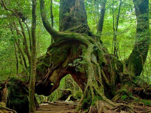 Parfüm ve Antik japon sedir ağaçları