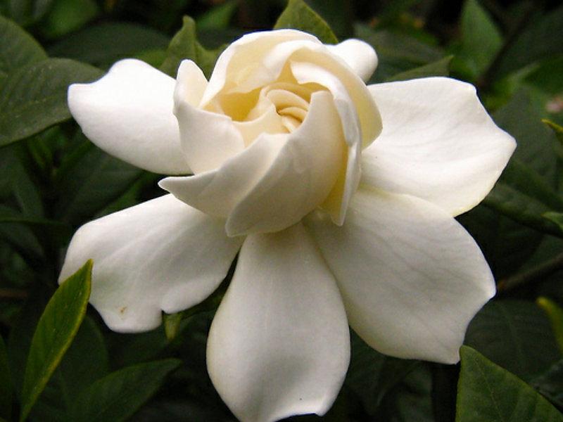 Gardenia.jpg