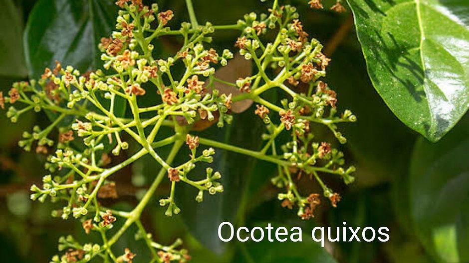 Vahşi tarçın çiçeği _ Amazon ve Ekvator'