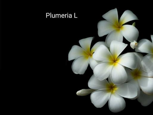 frangipani çiçeği